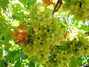uva vigneto vino