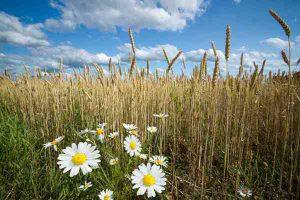 campo grano agricoltura sostenibile