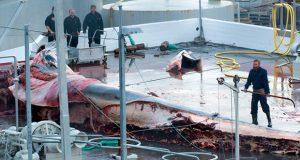 uccisione balene islanda
