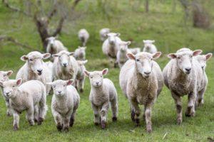 pecore allevamenti