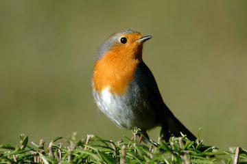 uccello pettirosso