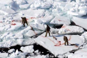 foche inuit