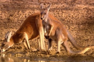Canguro estratto documentario Kangaroo: a love-hate story