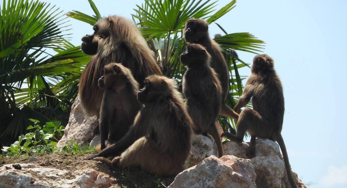 gruppo di Gelada in Etiopia